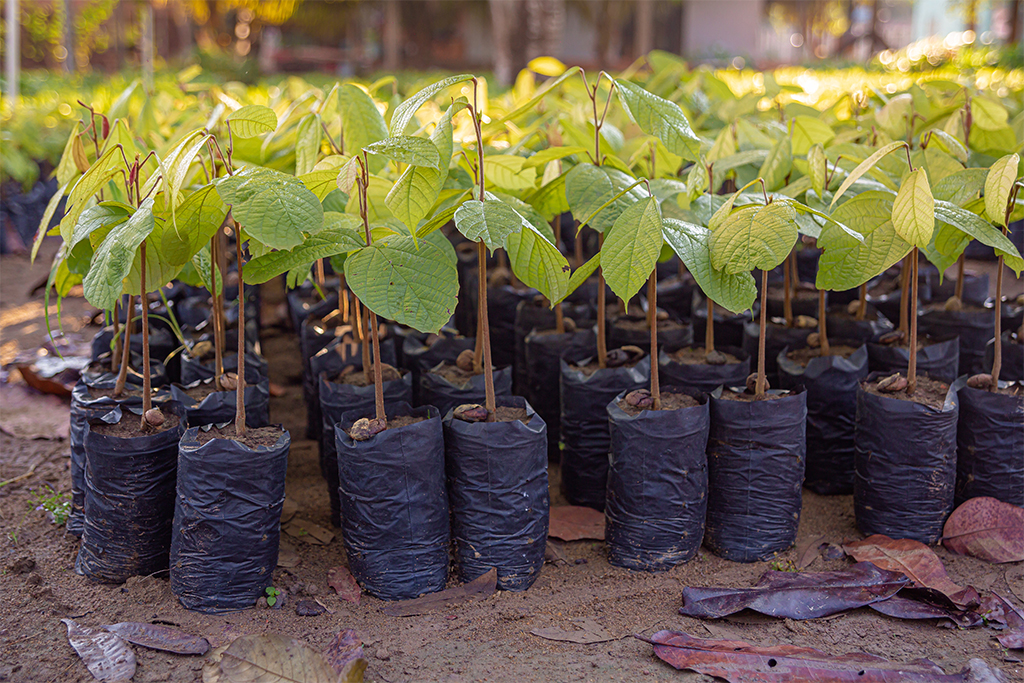 A person taking care of the trees' saplings for a reforestation project.